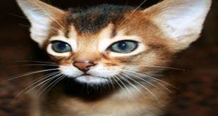 abyssinian نژاد گربه آبسینیان