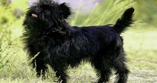 سگ آفن پینچر Affenpinscher