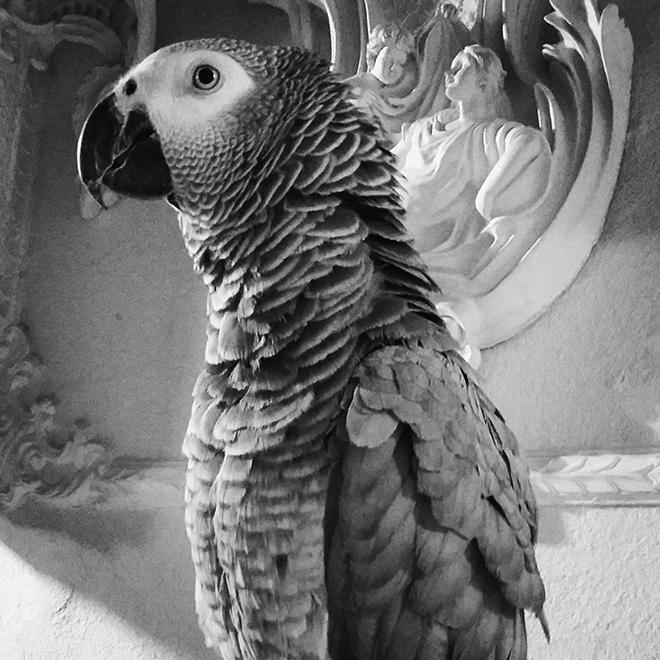 کاسکو طوطی خاکستری آفریقا