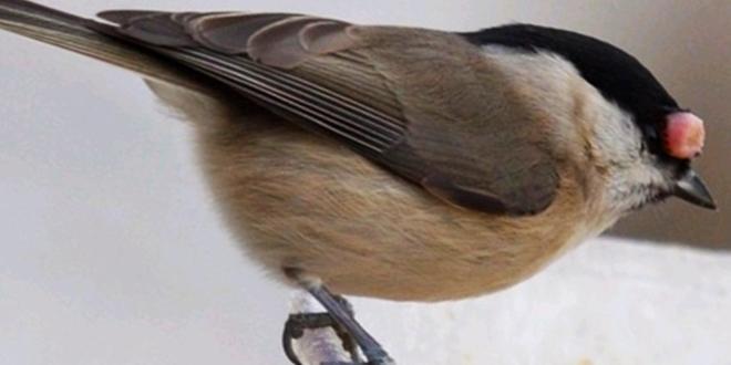 بیماری تورم چشم پرنده