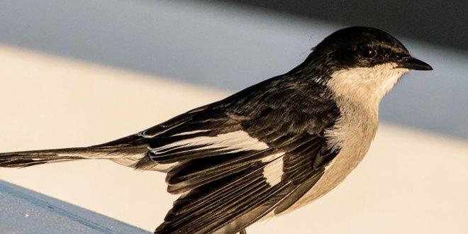 افتادن بال پرنده به دلیل بیماری مریضی