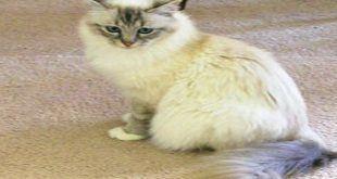 گربه بیرمن Birman