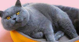 نژاد گربه مو کوتاه بریتانیایی