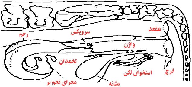 Image result for عکس در مورد دستگاه تولید مثلی گاو ماده