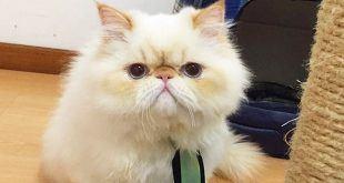نژاد گربه پرشین Persian Cat