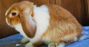 نژاد خرگوش کوچک