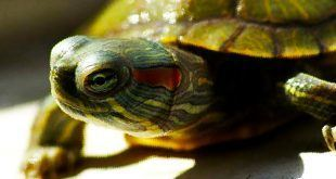 لاک پشت Red Ear Slider