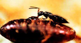 خوردن لارو مگس توسط زنبور