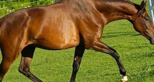 چرخه تولید مثل اسب مادیان
