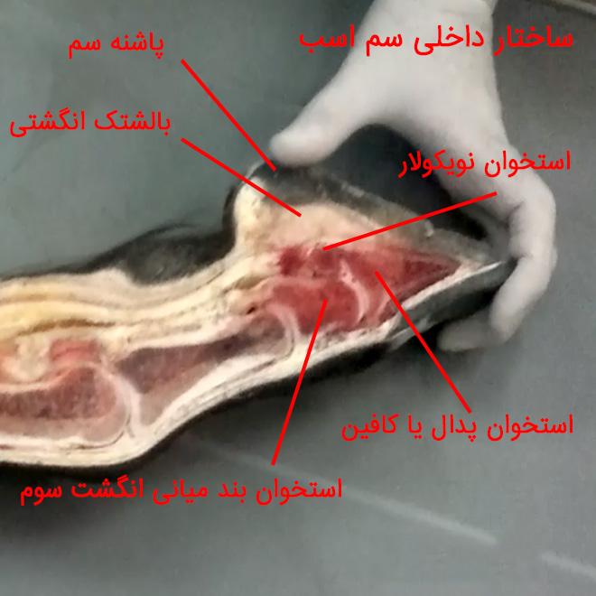 قسمت داخلی سم اسب