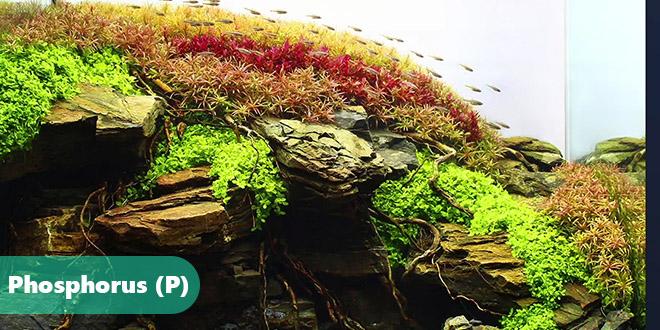 رشد سالم گیاهان آکواریومی با کود فسفر