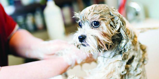 شستشو و حمام سگ جلوگیری از شوره