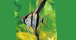 ماهی انجل نقرهای راه راه