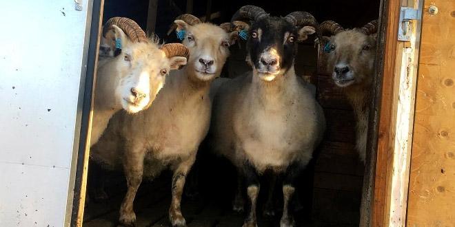 پرورش و نگهداری از گوسفند