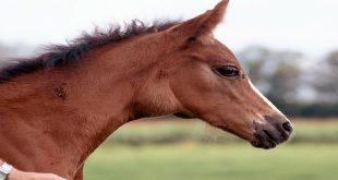 تشخیص درمان آبسه اسب