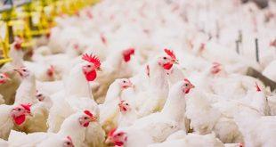 بررسی علل لنگش در جوجه های گوشتی