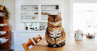نحوه معرفی و آشنایی گربه تازه خریداری شده به محیط جدید