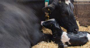 همگام سازی فحلی و تخمک گذاری در گاو