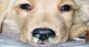 دیستمپر سگ