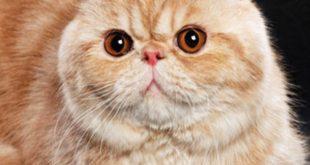 گربه موکوتاه اگزوتیک