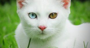 گربه خائومانی