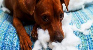 پیکا در سگ