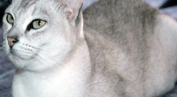 گربه بورمیلا آسیایی