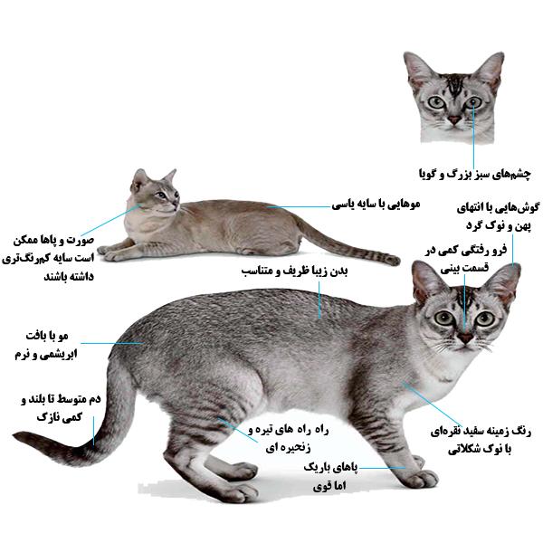 گربه نژاد بورمیلای آسیایی