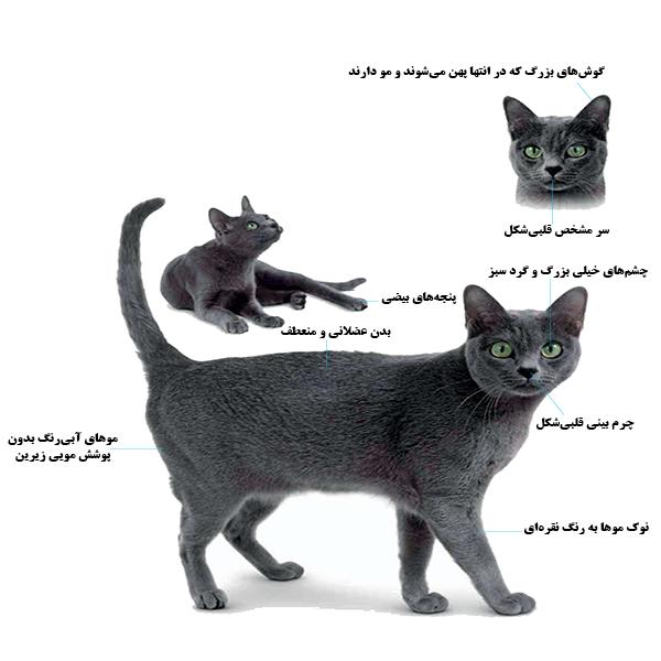 نژاد گربه کورات