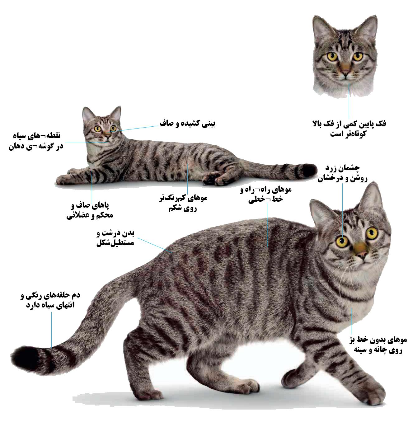 گربه نژاد لی هوئای