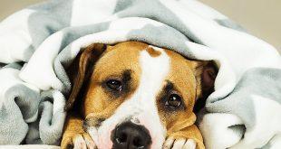 پارو ویروس سگ