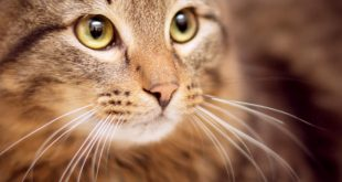 پرکاری تیروئید در گربه