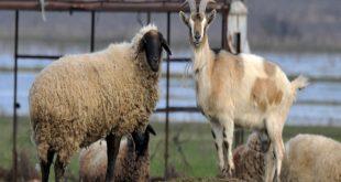 بیماری گوسفند و بز