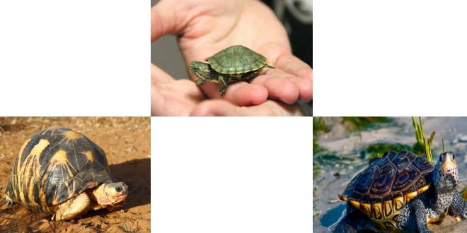 انواع لاکپشت